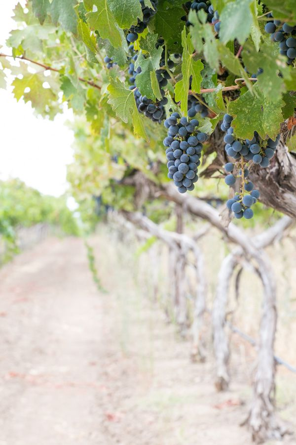 Beautiful, full vineyards at Mumm Napa. Early fall is the best time to visit as the vines are bustling with grapes!  #GoNative #spon –By Eden at Sugar and Charm who stayed at Napa Winery Inn #contestentry