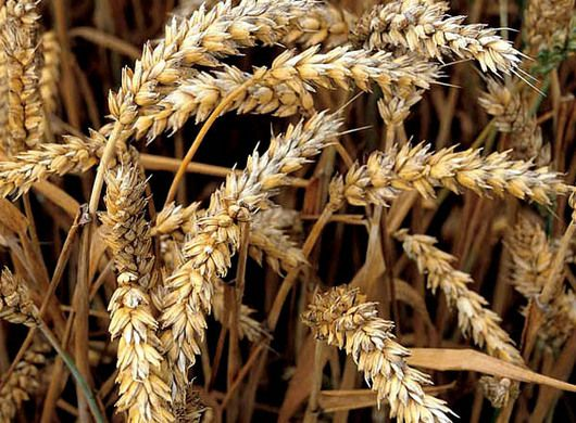 El petitorio se encuentra en consulta pública para ver si se da luz verde a la investigación Un grupo de investigadores británicos pidieron al Departamento de Medio Ambiente del Reino Unido autorización para realizar pruebas de campo con cultivos de