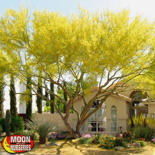 Landscaping With Palo Verde Trees : House landscaping gardening trees blue plants