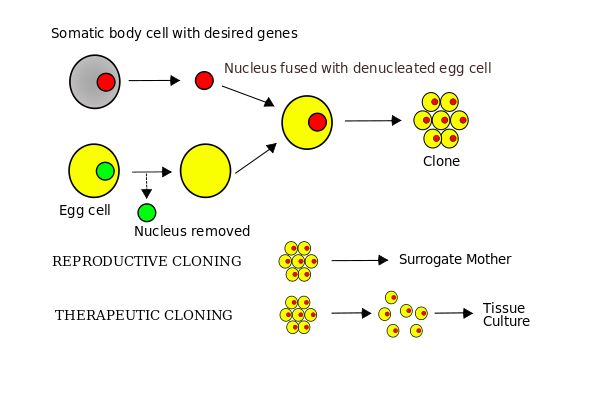 Somatic-cell nuclear transfer - Wikipedia, the free encyclopedia