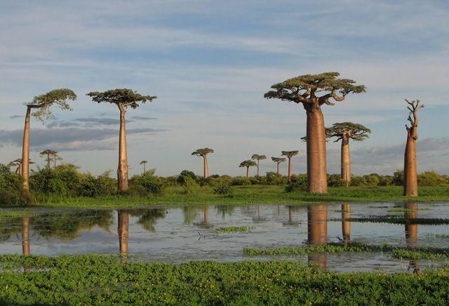 Сокотра  - остров драконового дерева