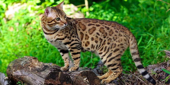 A Spotted Cat Or A Striped Dog Hybrid Cat Bengal Cat Cat Breeds
