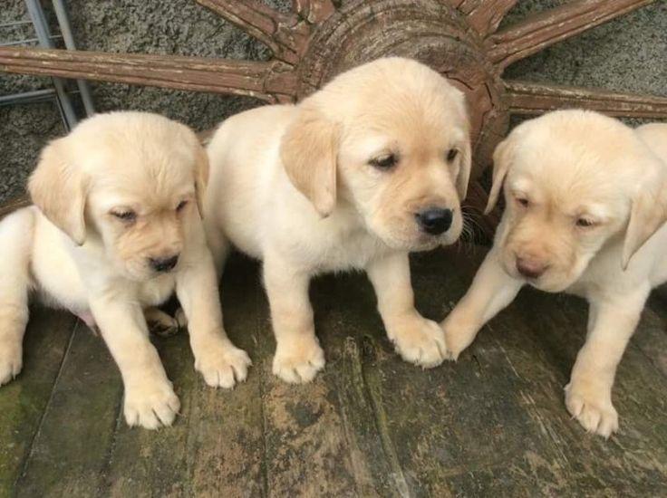 1,00€ · Regalo Cachorros Golden Retriever Para Su Adopcion · Impresionantes cachorros Golden Retriever disponibles Impresionantes cachorros Golden Retriever disponibles Golden Retriever cachorros macho y hembra para amantes de las mascotas. Son 12 semanas de edad, veterinario comprobado, desparasitados y tienen todos los registros de veterinario al día. Nuestros cachorros están bien entrenados y muy socializados. .....Estos cachorros se criaron en una familia con niños pequeños. Les encanta…