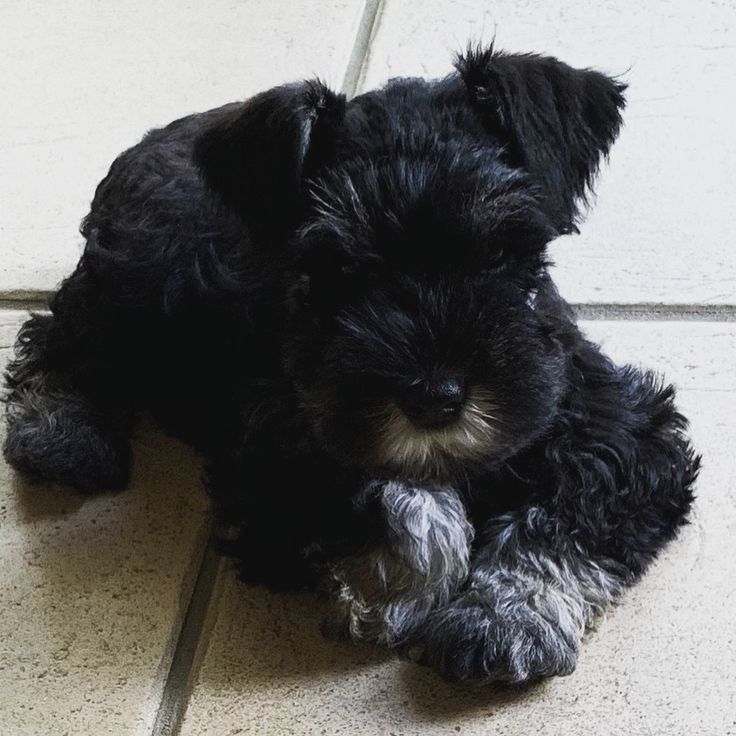 """""""Max"""" Black and Silver 8 week old mini schnauzer. Posted ..."""