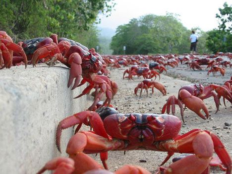 120 million crabs take to the streets on christmas island