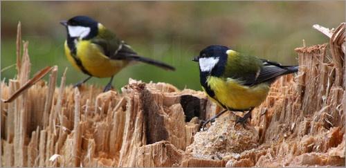 Kohlmeise  -  Tit    Vogelkunde    meise    natur    Lebensraum    Ornithologie    Meisenart    Schwanz    Gefieder    Parus major    flug    Freilebend    Zwitschern    vogel    frei    Paridae    Wild    fliegen    Schnabel    wildnis    Kohlmeise