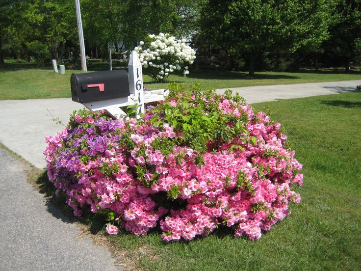 Pink flowering bushes and clematis around mailbox