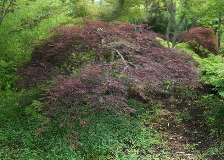 Acer palmatum dissectum 'Tamukeyama'