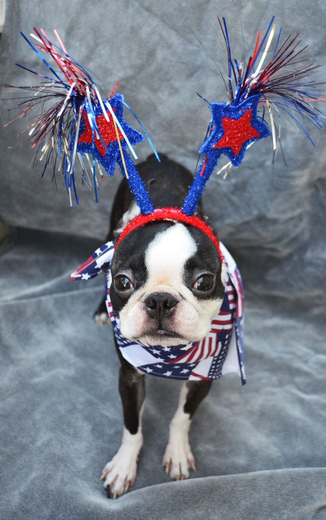 Patriotic Boston Terrier   Of July  Keep Your Pets Safe!