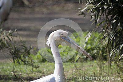 Pelican - Pelecanus - Pellicano