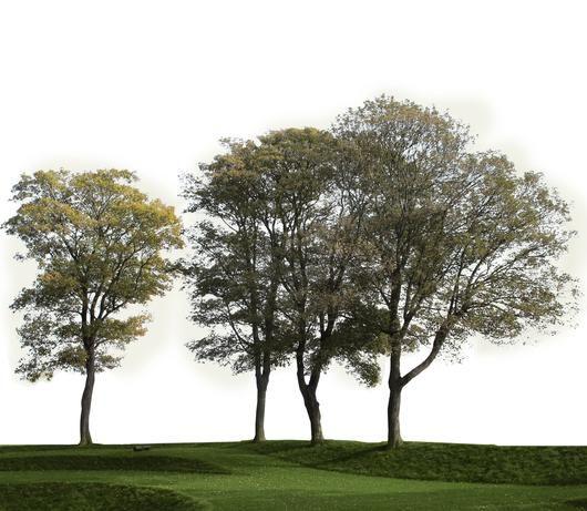 Cutout image of a tree group. Transparent backgroud image, Ready to use in phoshop.  Baum; grupo de árvores; arbre détouré