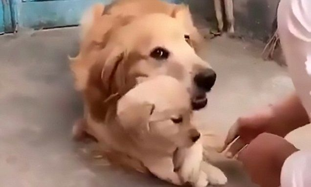 Dog refuses to let his owner shake hands with his puppy