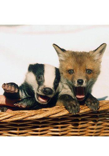 Unlikely animal friendships... I'm the original badger girl