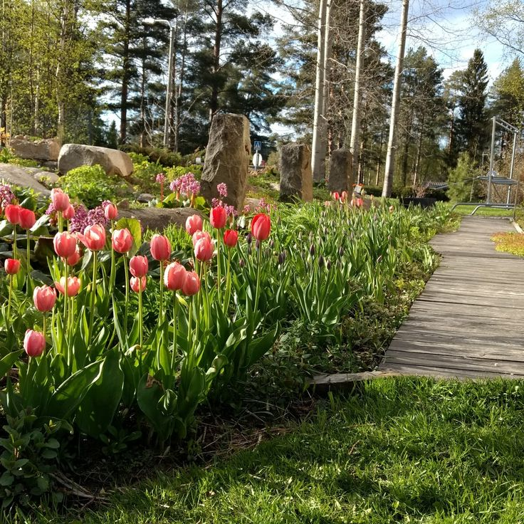 Tulips & Pathway made of old wood