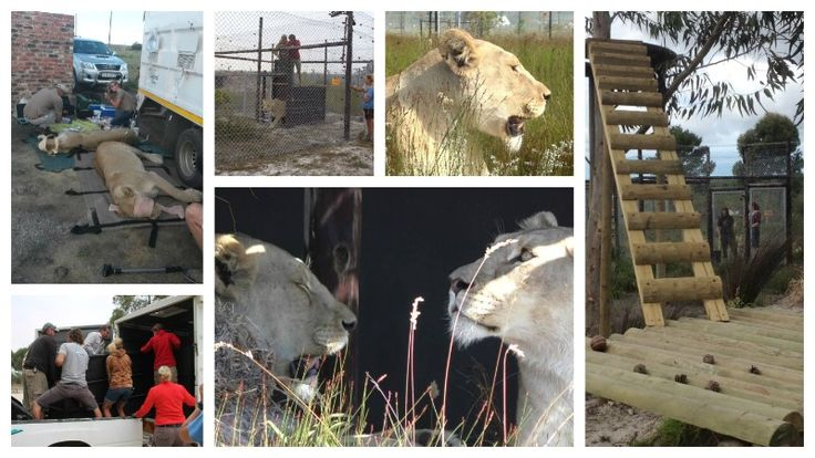 Panthera Africa Welcomes Two lionesses Address: Stanford, Overberg Phone: 084 866 2665 / 076 974 3088 Email: info@pantheraafrica.com