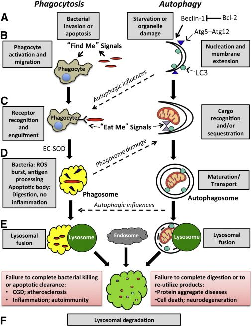 Major steps in phagocytosis and autophagy. The proper induction (A and B), cargo ...