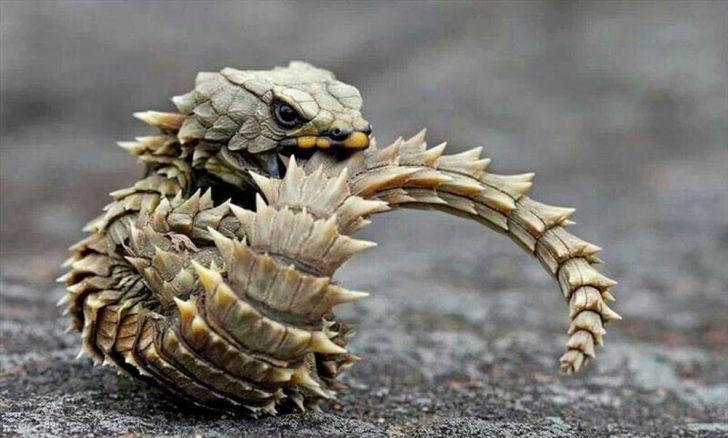 LAGARTO-TATU (Cordylus cataphractus) OMG!!! É um mini dragão <3