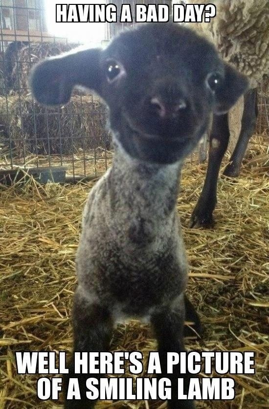 Smiling lamb, Having a bad day and Lamb on Pinterest
