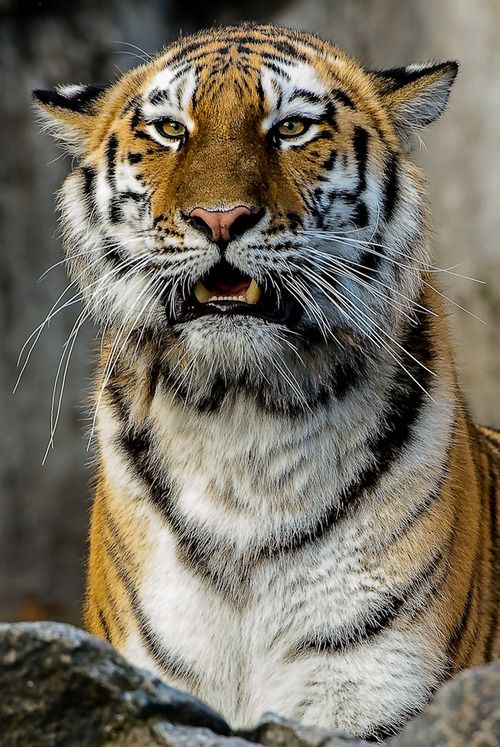 This tiger looks like he just broke his neighbor's window with a baseball.