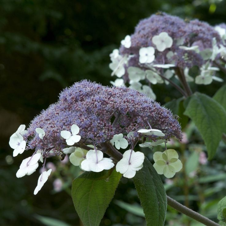 Hydrangea aspera 'Macrophylla' (Large Plant) - Shrubs & Roses - Thompson & Morgan