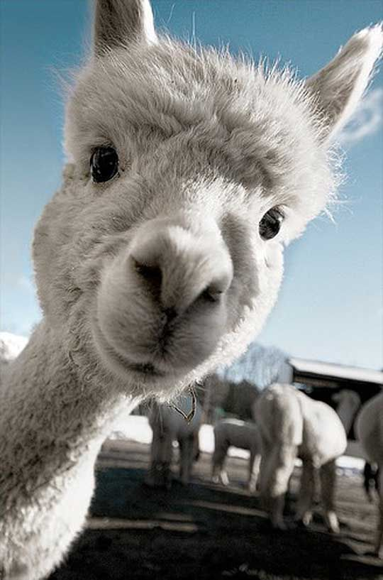 """Stupid question - Is this a llama? It had """"camel"""" as the caption. Is it a camel?"""