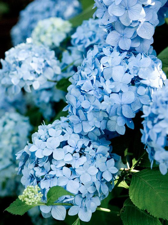 Endless Summer Hydrangea macrophylla is one of the most famous rebloomers. Introduced in 2004, it allowed gardeners in Northern climates to be able enjoy hydrangeas in their gardens. It features big mophead clusters of blue or pink flowers and grows 5 feet tall and wide. Zones 4-9