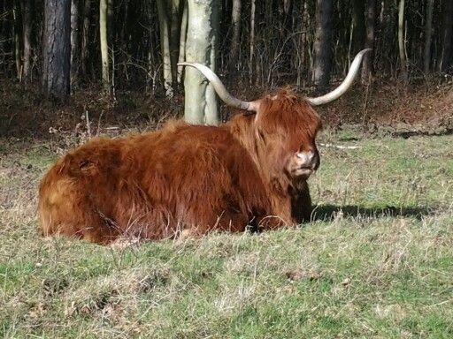 """Schotse hooglander langs wandelroute """"Bakkum"""""""