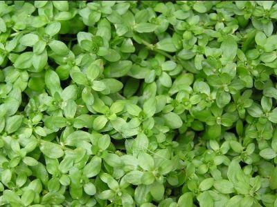 Callitriche Verna (Grow in 5-15cm water)