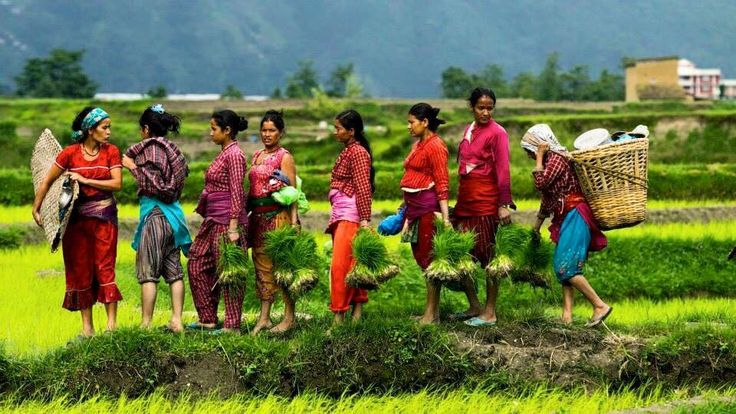 Women-rice field-rainy season-Village-Nepal