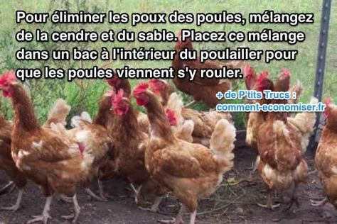 Vos poules ont des poux ? Vous avez tout essayé et vous n'arrivez pas à vous en débarrasser… Ne vous inquiétez pas, il existe un truc naturel et infaillible pour traiter vos poules sans produit. Découvrez l'astuce ici : http://www.comment-economiser.fr/enlever-poux-des-poules.html?utm_source=dlvr.it&utm_medium=facebook
