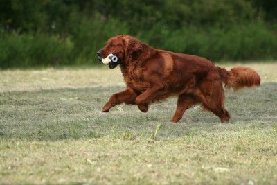 Bounderhill Goldens, Golden Retrievers, Dark Red Golden Retrievers, Field Golden Retrievers, Hunting Golden Retrievers