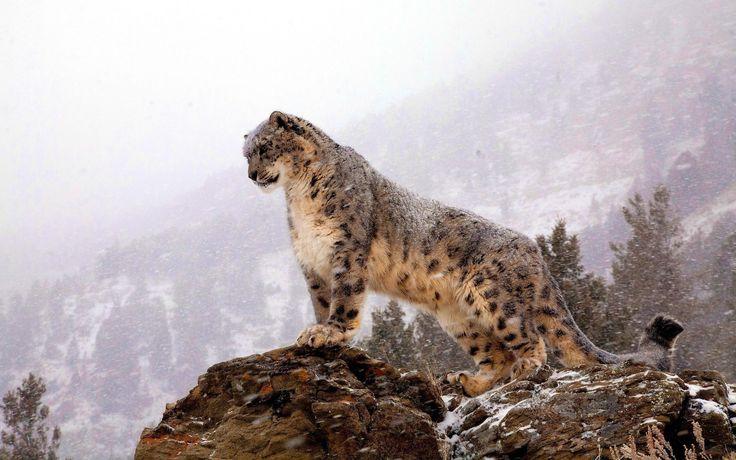 Image result for snow leopard wallpaper