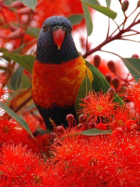 Rainbow Lorikeet in a Red Gum Tree in bloom. Australian native birds.