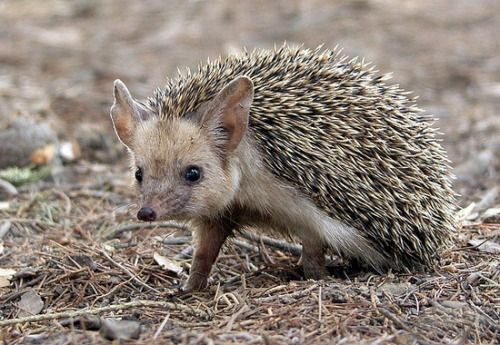 The Long-eared Hedgehog is native to Central Asia and the Caucasus mountains. It uses grass nests as shelter, and has numerous enemies. Hibernation: late October to March. Life span: about 5–6 years. Hunted by the Eurasian Eagle Owl, it makes up about 14% of the predatory bird's diet. The Long-eared Hedgehog is naturally parasite prone and can carry diseases such as plague and the Brown Dog Tick, which can transmit Boutonneuse fever.