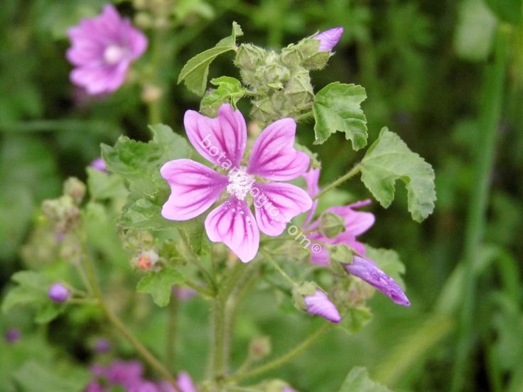 Τhe flowers of the beautiful herb mallow