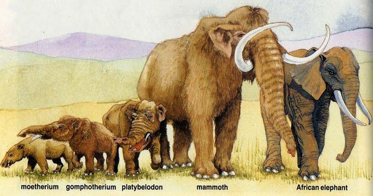 Elefant Evolution