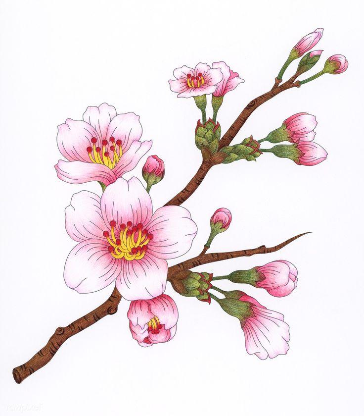 Картинки сакура в цвету нарисовать каждом
