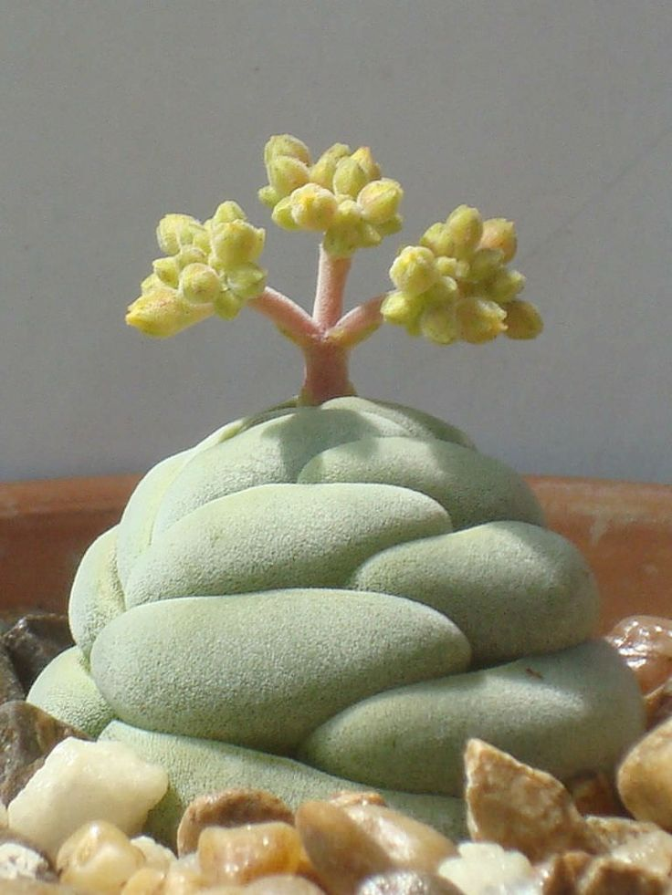 Crassula alstonii - See more at: http://worldofsucculents.com/crassula-alstonii