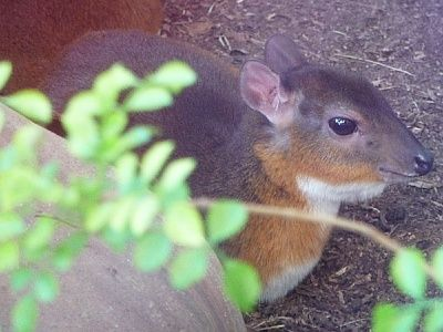 Royal antelope - ..... is a West African antelope, recognised as the world's smallest antelope. -  Wikipedia