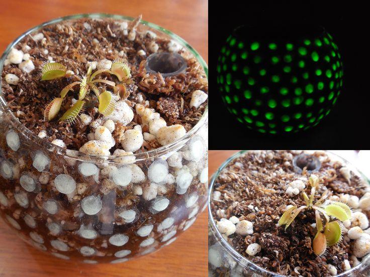 Carnivorous plant Venus Flytrap in glowing terrarium.  Planta carnívora Venus Atrapamoscas en terrario luminoso.