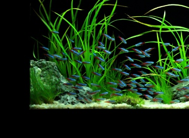 Neon tetras for logan pinterest neon for Neon aquarium