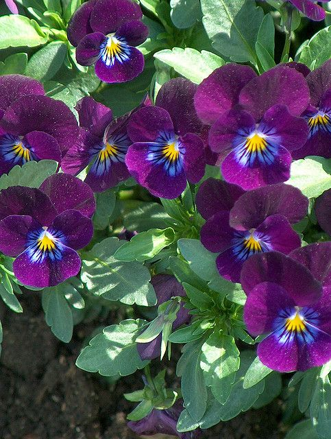 Purple and Blue Pansies