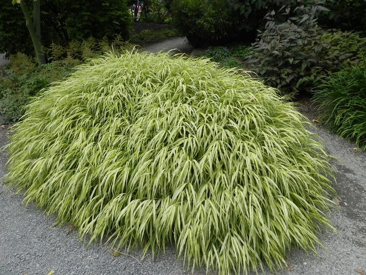 Hakonechloa macra aureola google search sir for Japanese mounding grass