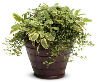Pretty container with just two nonflowering plants:  creeping wire vine and golden leaf sage