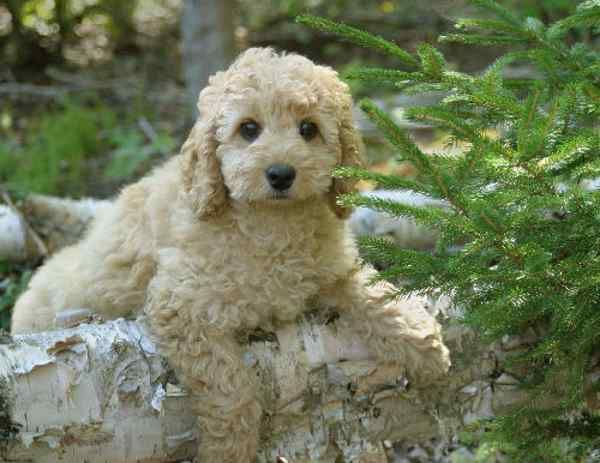 Extra Small Hypoallergenic Dogs