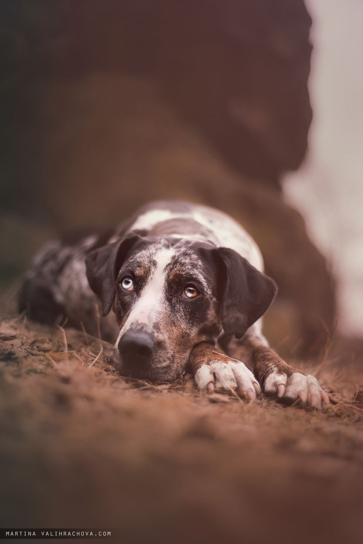 Loki - Loki, Louisiana leopard dog lying and posing on portrait.