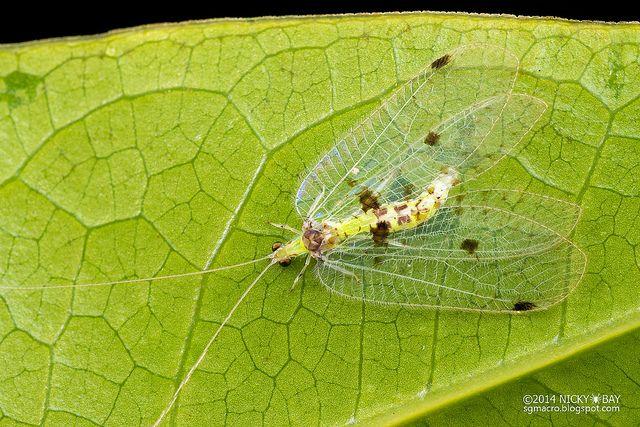 Lacewing (Chrysopidae) - DSC_4414