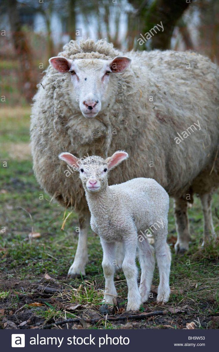 White domestic sheep (Ovis aries), ewe and lamb portrait, Germany Stock Photo, Royalty Free Image: 27876831 - Alamy