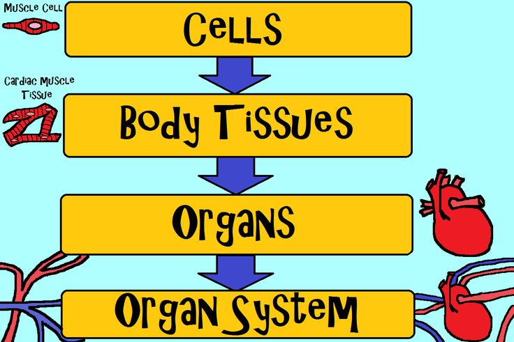 Cells make up body tissues which make up organs which make up our organ systems. Come learn all about organ systems with the Amoeba Sisters!  http://www.youtube.com/watch?v=nnjmrrQ6xOs