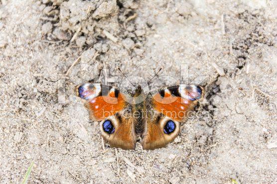 Aglais io (European Peacock, Peacock butterfly) royalty-free stock photo